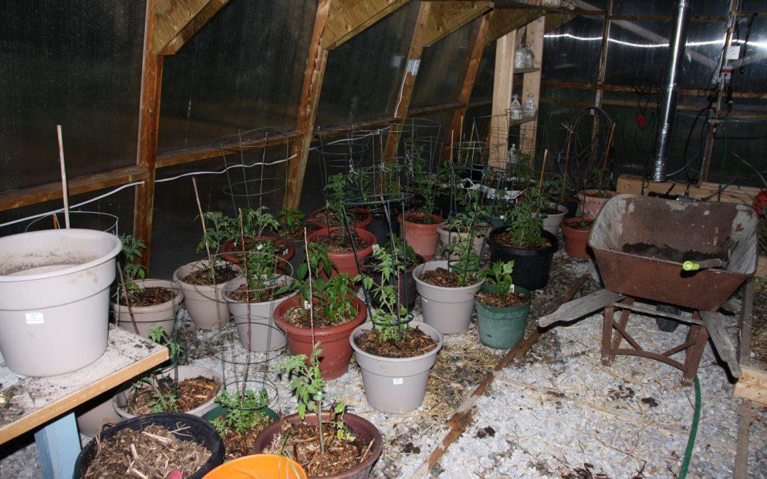 Tomatoes in Green Fie